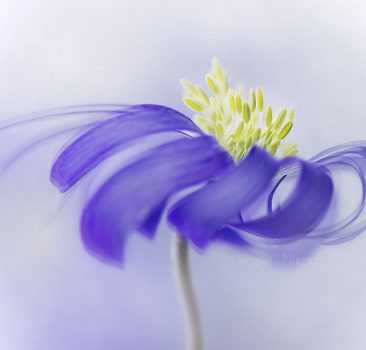 this is an image of A lovely fresh blue anemone blanda flower with the hint of a fine art texture.