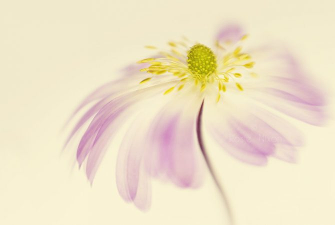 a single anemone blanda pink flower