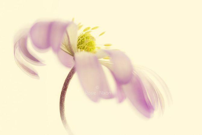 a single pink anemone blanda flower