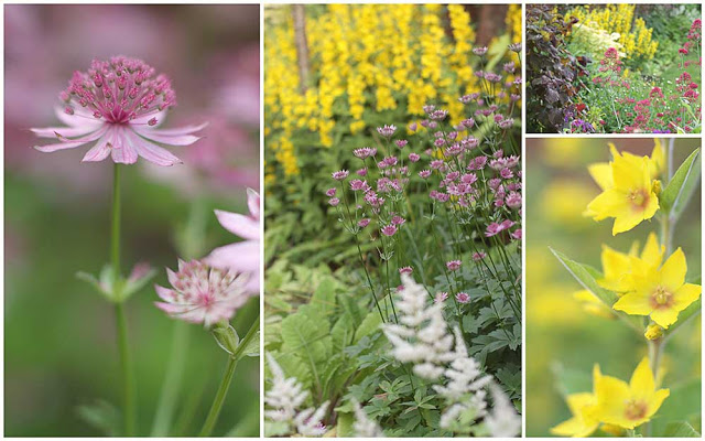 pink astrantia, yellow loosestrife and white astillbe flowers