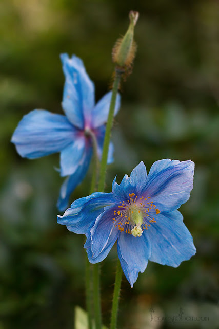 meconopsis blue poppies