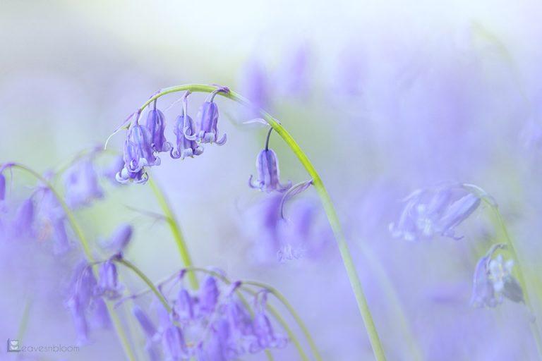Soft Dreamy Bluebells in Spring