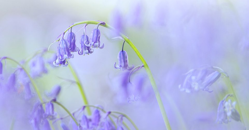 Soft Dreamy Bluebells in Spring