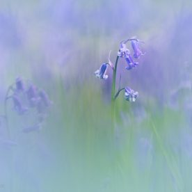 this is an image of bluebells emerging from a sea of bluebells