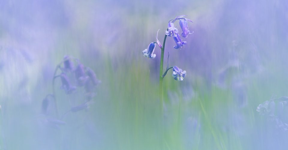 Emerging from a blur of bluebells