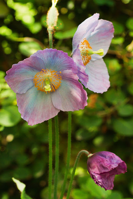 A new meconopsis flower opening with deep violet coloured petals