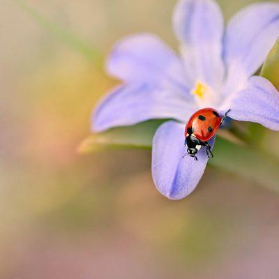 on blue Chionodoxa luciliae Spring flowers