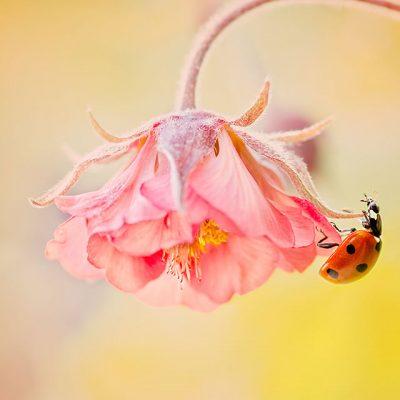 on geum flower