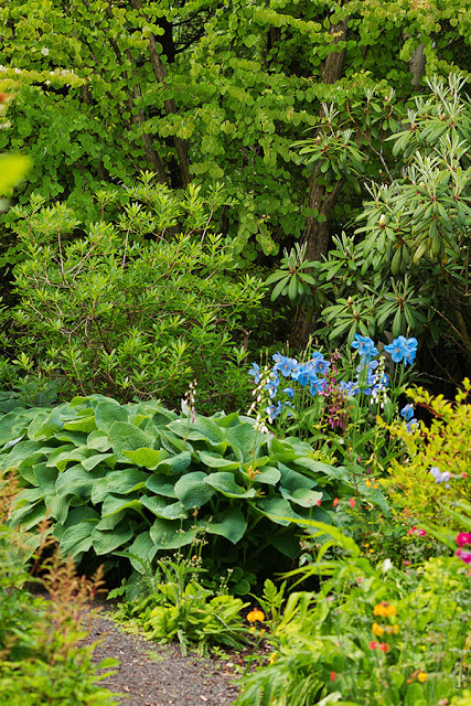 Meconopsis blue Poppies in amongst the trees, shrubs and herbaceous plants