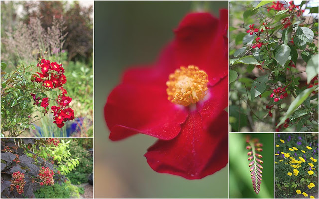 tale of two summers - hot red colours with black foliage