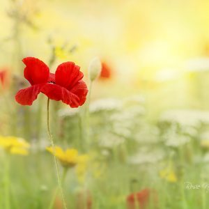 a single red corn poppy in a wildflower meadow