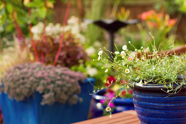 beyond garden gate - Mexican Fleabane (Erigeron karvinskianus)