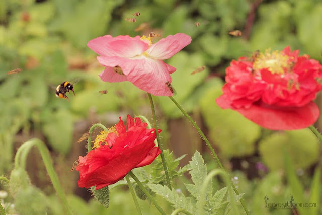 poppies are a great nectar bar - august gardening