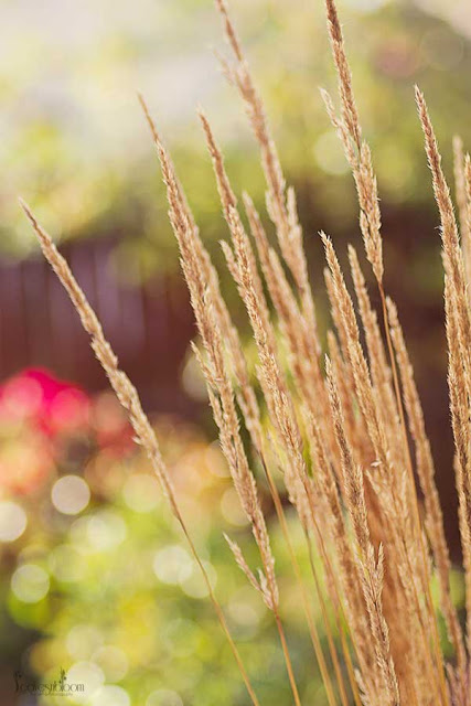 golden brown calamagrostis grass heads