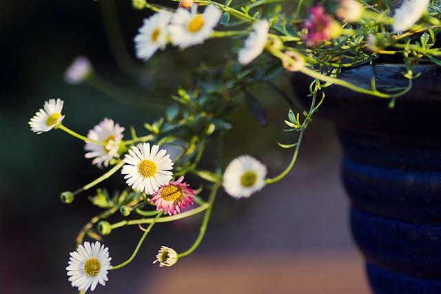 white and pink Erigeron karvinskianus daisies in flower in the September Garden