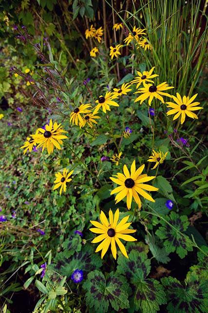 yellow Rudbeckia 'Goldstrum' in the September garden