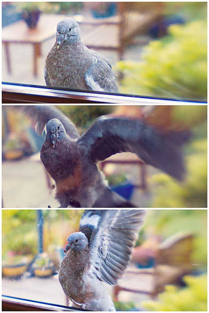Pigeon fledgling learning to fly