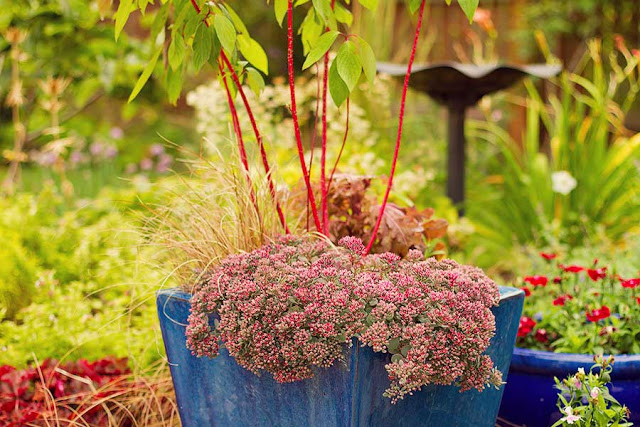 red sedum and red stemmed cornus in a container in the September garden