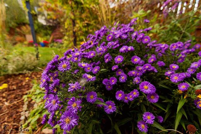 Purple autumn flowers Aster x frikartii 'Monch'