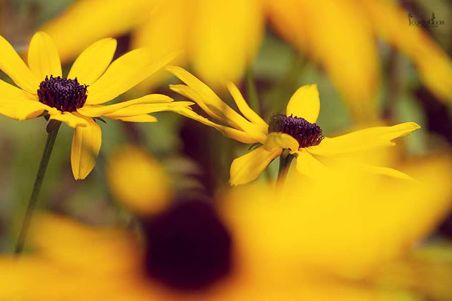 this is an image of yellow Rudbeckia fulgida var. 'sullivantii Goldsturm autumn flowers commonly known as coneflowers