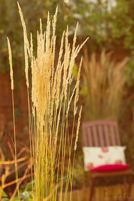 flowering plumes from calamagrostis in October