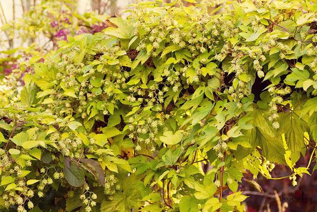 golden hops Humulus lupulus 'Aureus'