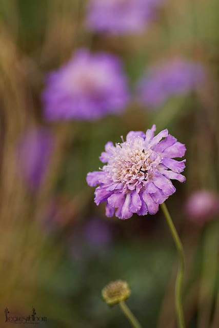 purple scabious flowers in October