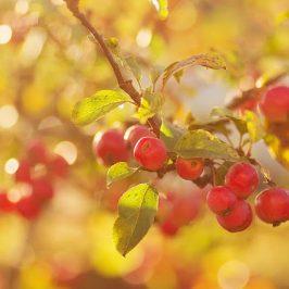 October Garden interest - red crab apples
