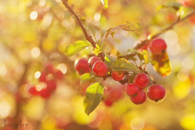 clusters of red crab apple fruits in October