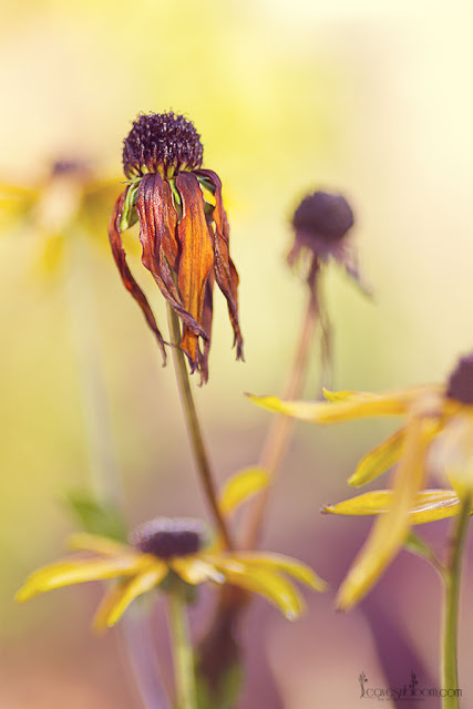 this is an image of a fading rudbeckia flower in November