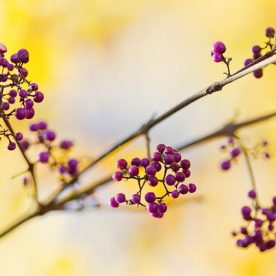 this is an image of purple callicarpa beauty berries in November