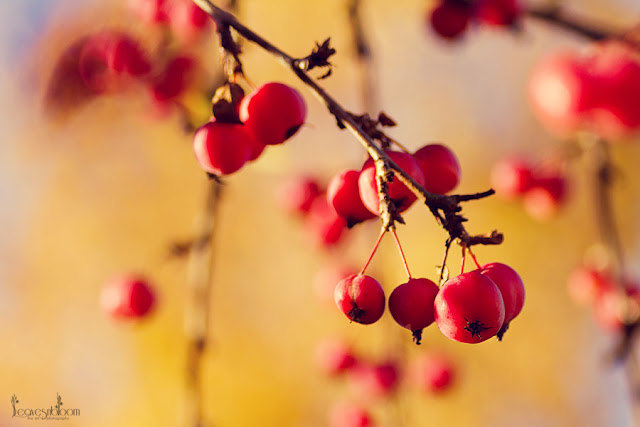 Red Crab apples on Malus 'Profusion'