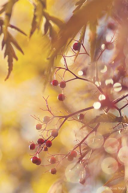 Sambucus 'Black Lace'   Elderberry fruit in the November Perthshire garden