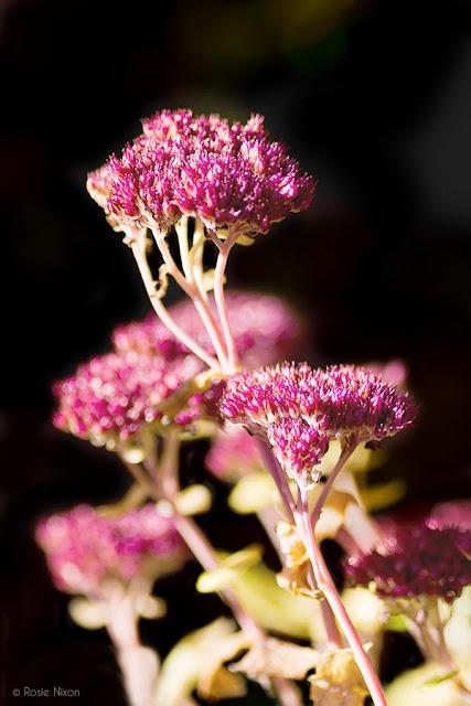Sedum spectabile 'Autumn Joy'