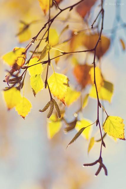 Silver Birch catkins in the November Perthshire garden