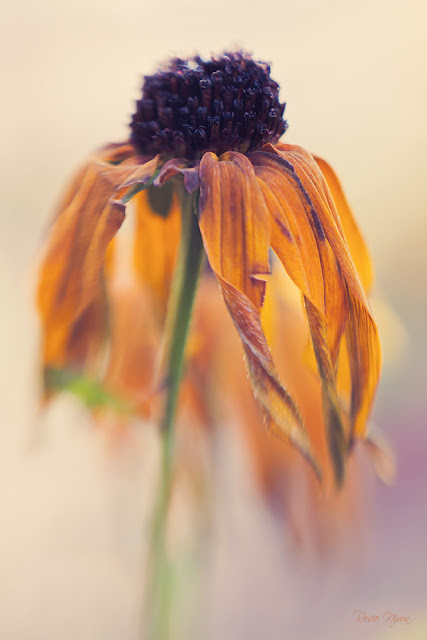 rudbeckia fading flowers in November