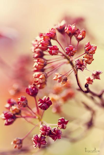 Physocarpus diablo fading flowers