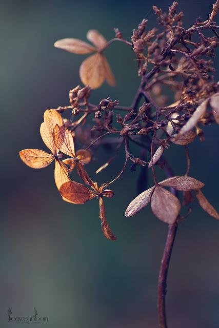 Hydrangea 'Phantom' fading flowers