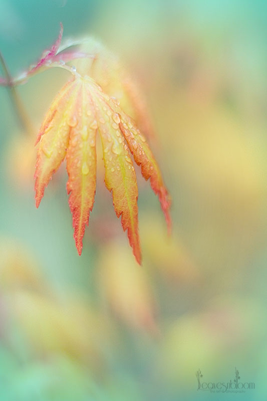 2013 Best Nature Images - acer spring leaf colours