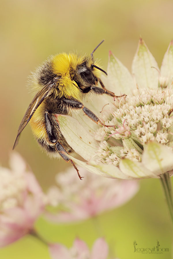 2013 Best Nature Images - a bee on an astrantia flower