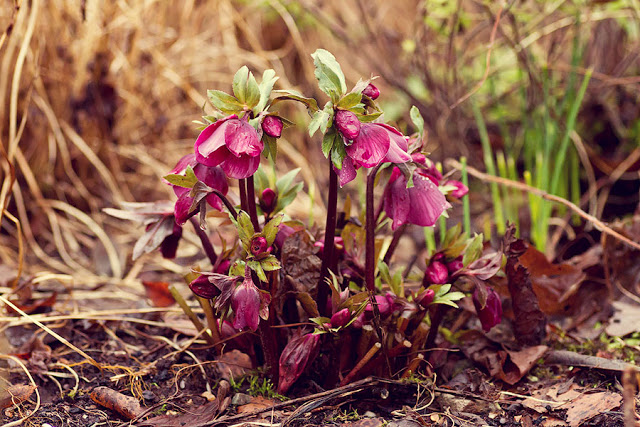 lenten rose in pink