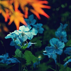 best nature photos 2013 blue meconopsis poppies