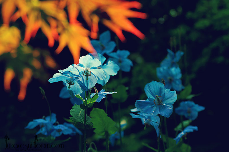 2013 Best Nature Images - Himalayan Blue Poppies Meconopsis at Branklyn garden Perth