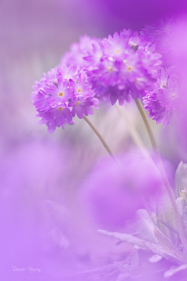 2013 Best Nature Images - lilac Primula denticulata drumstrick primulas in spring