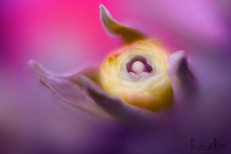 this is a lensbaby image of a ranunculus yellow bud