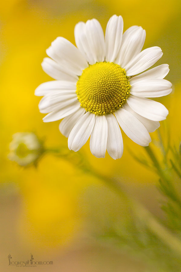 2013 Best Nature Images - wild flower daisy macro