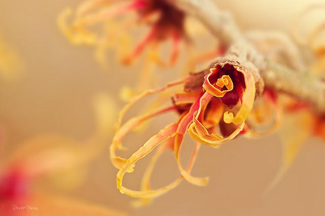 winter flowering witch hazel