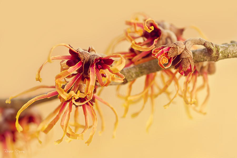what's in bloom in January, Hamamelis x intermedia 'Jelena' - witch hazel Scottish Hardiness rating - H5