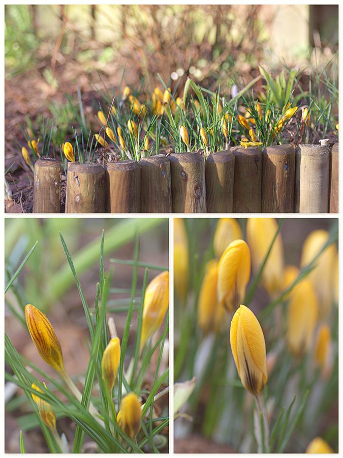 Crocus chrysanthus var 'Fuscotinctus' | Crocus chrysanthus 'Goldilocks'