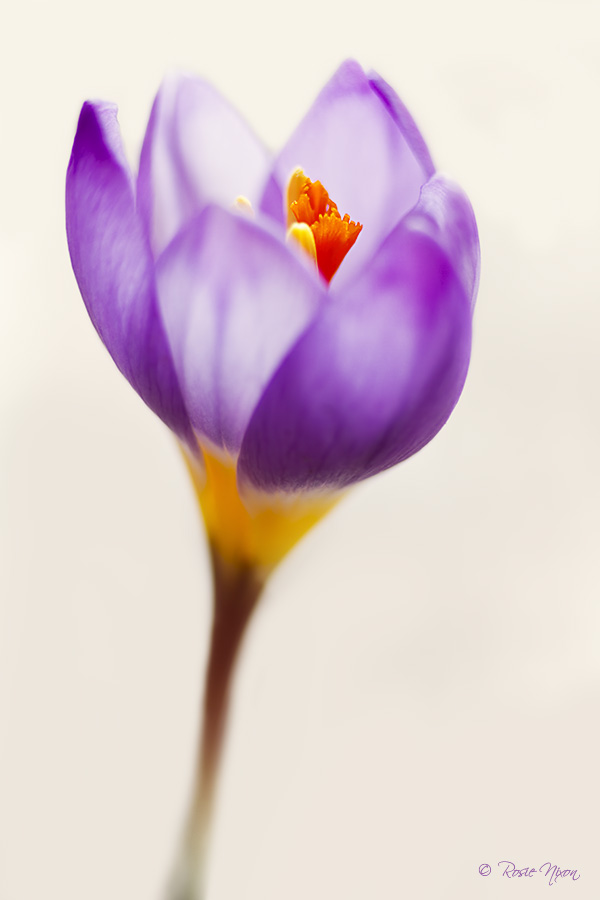 February garden flowers - Crocus sieberi subsp. sublimis 'Tricolor'